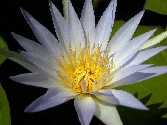 newlotusflower.jpg